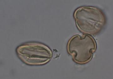F3. hypericum revolutum polen.jpg